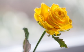 Picture rose, yellow, droplets of water