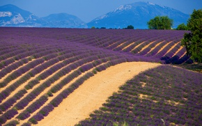 Picture field, trees, mountains, France, lavender, Provence, Provence