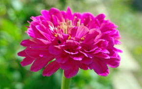 Picture summer, flowers, nature, plants, flora, tsiniya, pink color, zinnia