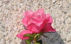 Picture Flower, Pink rose, Pink rose