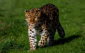 Picture greens, grass, the sun, predator, leopard, walks, bokeh