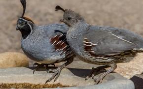 Picture bird, pair, common quail crested