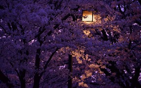 Picture night, lantern, Japan, cherry blossoms