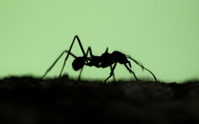 Picture nature, silhouette, ant, insect
