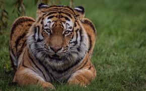 Wallpaper nature, weed, cat, tiger, look