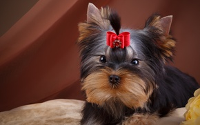 Picture girl, puppy, bow, Yorkshire Terrier