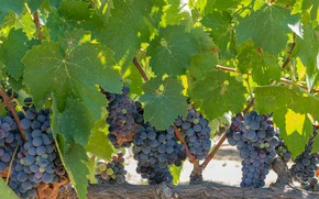 Picture foliage, grapes, vineyard, leaves, grapes, bunches, the vineyard