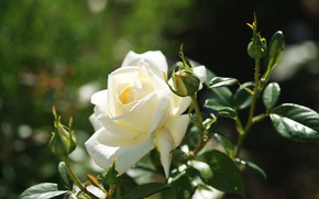 Picture leaves, rose, petals, Bud, flowering