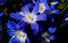 Picture flowers, nature, blue