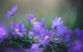 Picture purple, spring, vetrennitsa