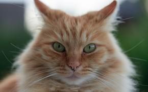 Picture cat, look, muzzle, red cat