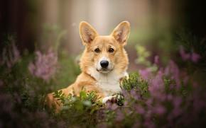 Picture flowers, dog, ears, bokeh