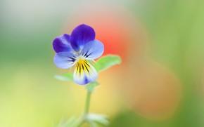 Picture macro, petals, Pansy, viola tricolor