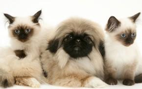 Picture kittens, puppy, fluffy, Pekingese