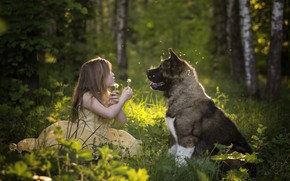 Picture forest, mood, dog, girl, dandelions, friends, American Akita