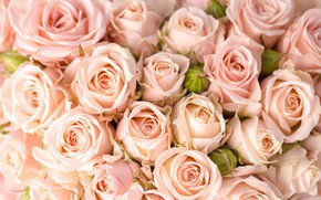 Picture tenderness, roses, buds, peach