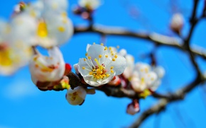 Picture flowers, tree, branch, spring, apricot, flowering