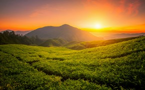 Wallpaper landscape, mountains, nature, sunrise, tea, plant