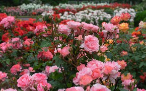Picture Park, roses, garden, buds, the bushes, rose bushes