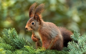 Picture branches, spruce, protein, tree, needles, animal, rodent