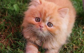 Picture kitty, red, cute