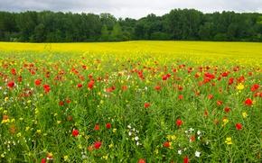 Wallpaper forest, grass, summer, the sun, Maki, yellow, field, greens, trees, red, flowers