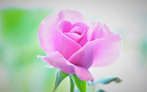 Picture background, rose, petals, beautiful