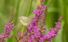 Picture macro, flowers, butterfly, Loosestrife, Braquenie