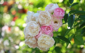 Picture roses, branch, bunch