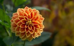 Wallpaper Dahlia, flower, petals, garden