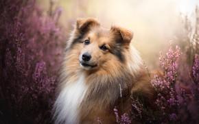 Wallpaper dog, look, portrait, Sheltie, Shetland Sheepdog, Heather, face