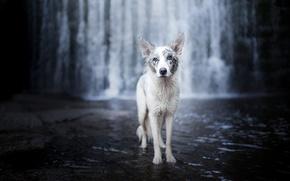 Wallpaper river, waterfall, dog