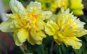 Picture flowers, nature, beauty, plants, spring, may, primroses, daffodils, cottage, flora, yellow, bulbous
