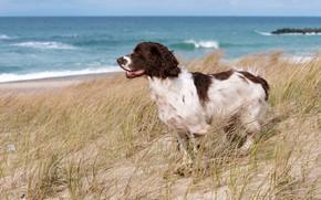 Picture sand, sea, beach, the sky, grass, landscape, coast, horizon, Cocker Spaniel, Spaniel