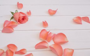 Picture flowers, pink, roses, petals