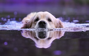 Picture water, animal, dog, head, swimmer, dog, bokeh, Retriever
