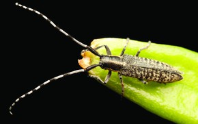 Picture plant, insect, Longhorn Beetle