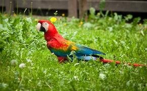 Picture bird, parrot, lawn, Ara