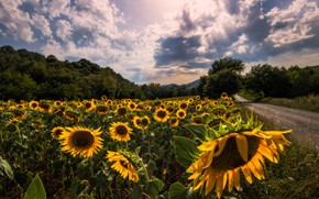 Wallpaper clouds, sunflowers, trees, road, summer, field, the sun