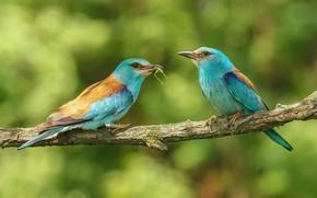 Wallpaper nature, branch, birds, pair