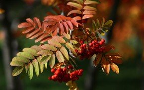 Wallpaper beauty, macro, etude, Rowan, Russia, autumn, leaves