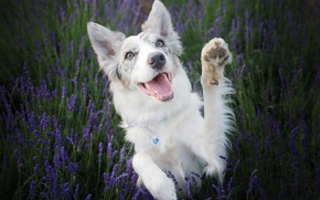 Picture nature, each, dog, lavender, the border collie