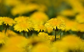 Picture field, flowers, dandelions, flowering