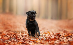 Picture autumn, leaves, foliage, bokeh, doggie, dog, Petit Brabancon