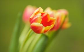 Picture petals, Bud, tulips, bokeh