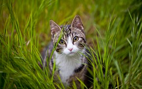 Picture greens, cat, grass, cat, look, nature, kitty, glade, kitty, face, striped, teen, grey with white