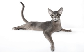 Wallpaper grace, Abyssinian cat, breed