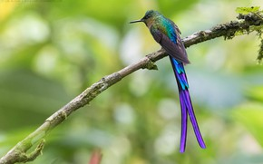 Picture bird, tail, exotic