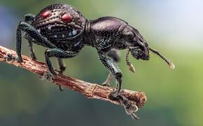 Picture macro, beetle, Pantorhytes