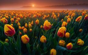Wallpaper field, fog, dawn, morning, tulips, Netherlands, buds, a lot